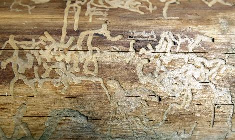 overlast door houtwormen